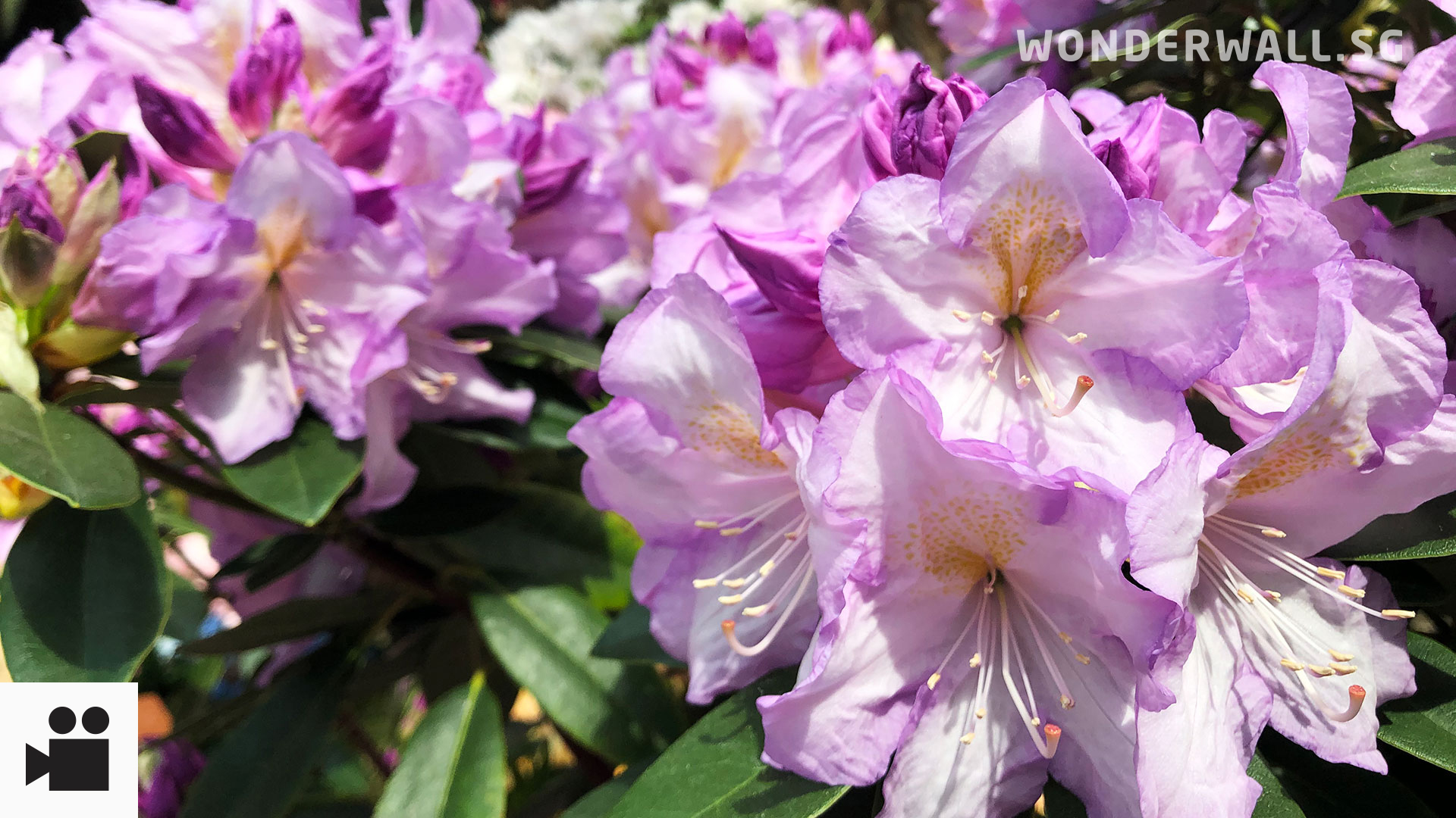 Things You Didn't Know About Rhododendrons (How To Pronounce Ah?): Now On Show At Gardens By The Bay