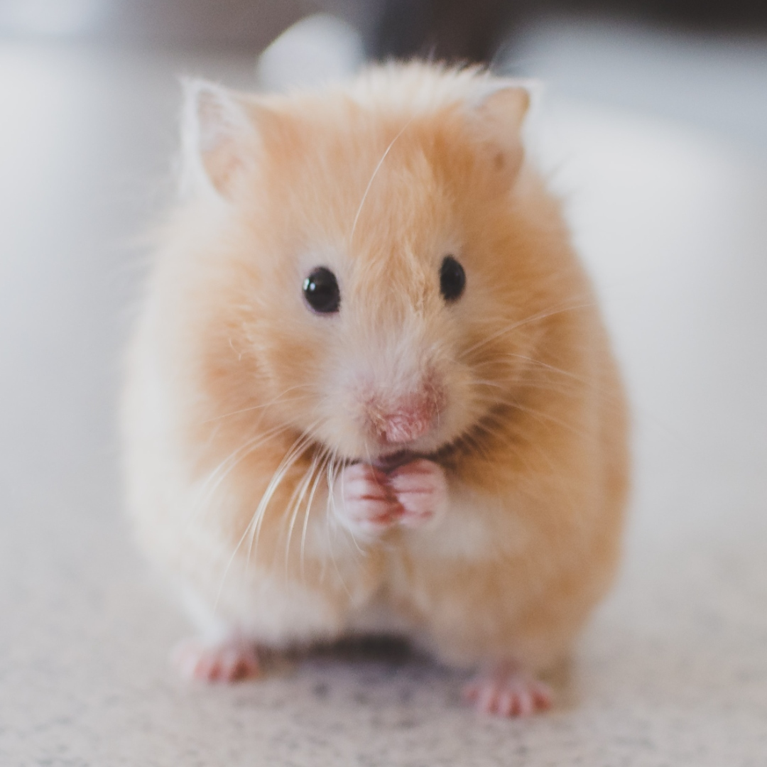 Did You Know Singapore Has A Hamster Society?
