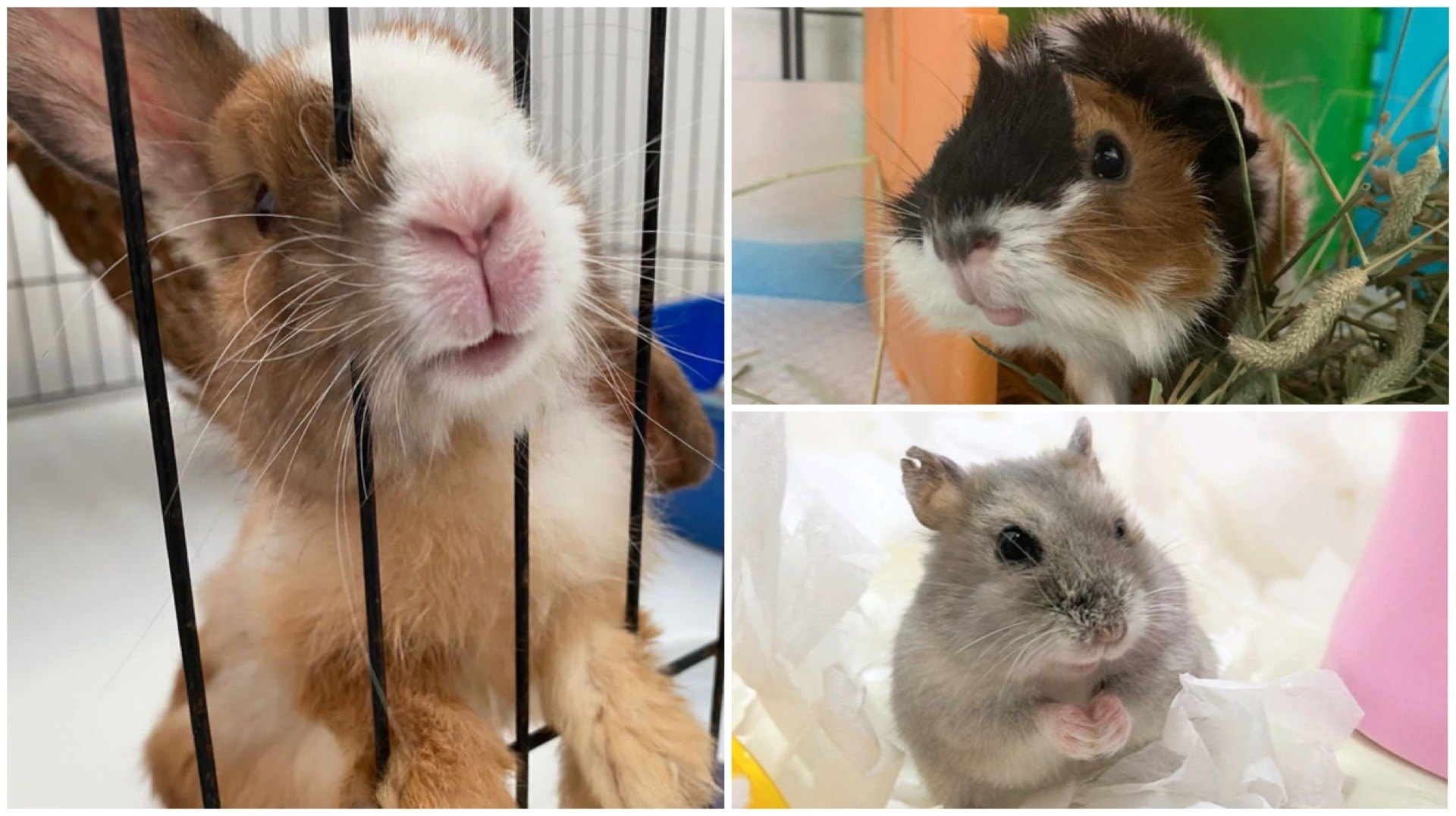Want To Help Furkids? Start Your Volunteer Journey Small With Rabbits And Hamsters
