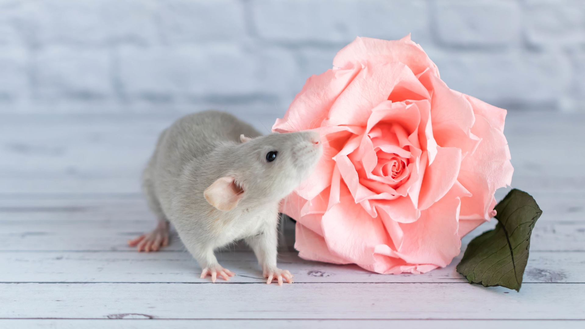 All You Need To Know About Keeping And Caring For Rats